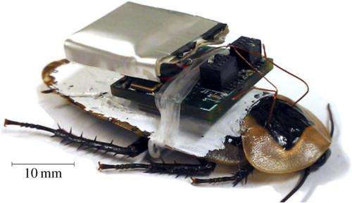 Cockroaches made to follow directions via wireless nerve stimulation