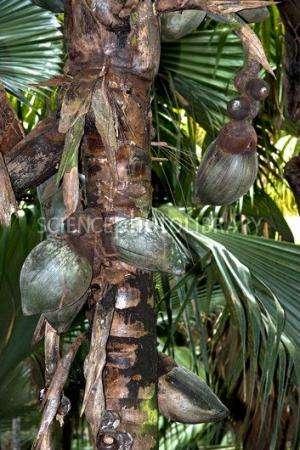 "Coco de mer performs ""parental care"" and modifies its habitat"