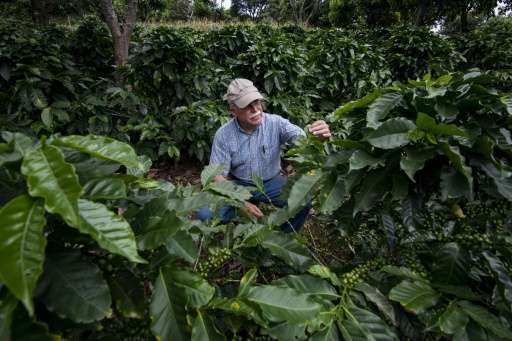 Coffee producer Adrian Hernandez inspects the crop on his farm Altamira, in Barva Heredia, Heredia, on August 25, 2015
