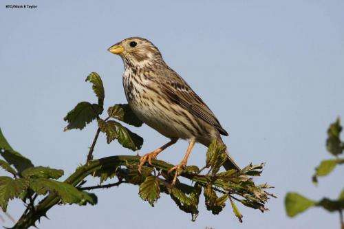 Corn Bunting, photograph by Mark R Taylor