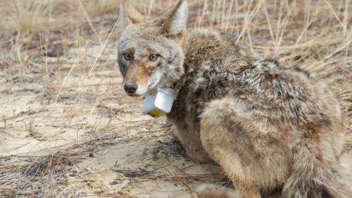 Coyotes filling wolves' niche in southeastern U.S.