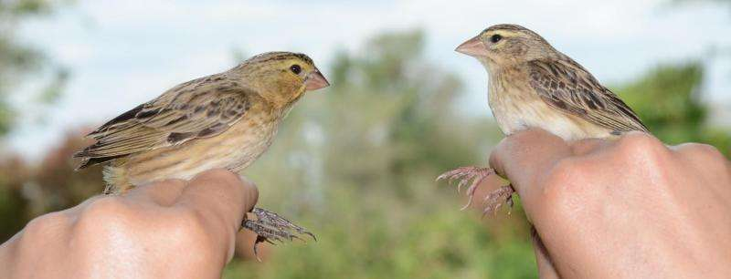 Cuckoos mimic 'harmless' species as a disguise to infiltrate host nests