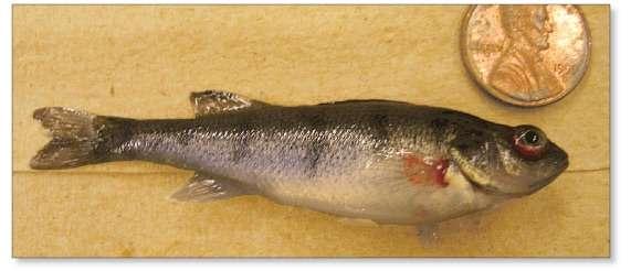 Deadly fish virus still present in Wisconsin lake