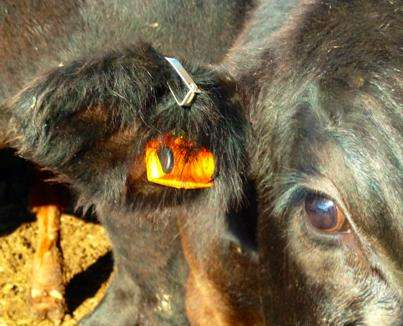 Detecting disease in beef cattle using ear tag units