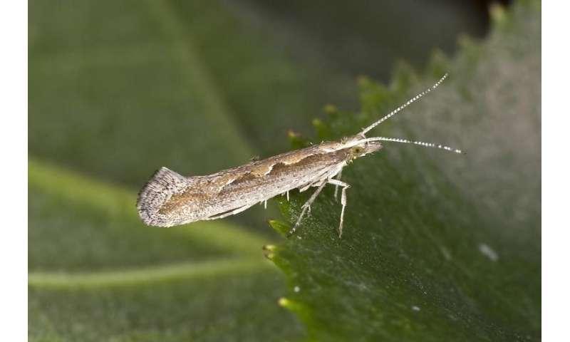 Diamondback moth