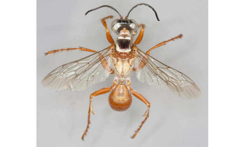Diggers from down under: 11 new wasp species discovered in Australia