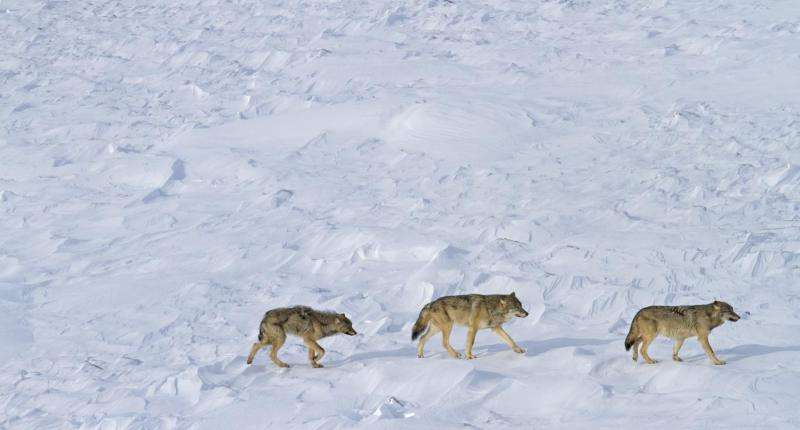 Down to 3 wolves on Isle Royale