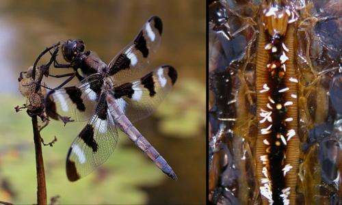 Dragonfly gut infections suggest environmental role in obesity