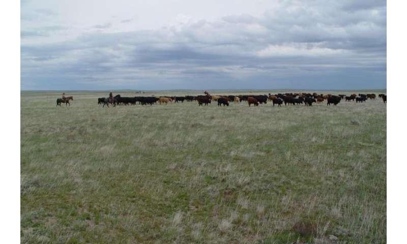 Dryland cattle - North Dakota Northern Plains