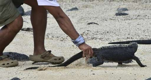 Eduardo Espinoza, scientist of the Galapagos National Park, monitors marine iguanas on a beach on Santa Cruz island in the Galap