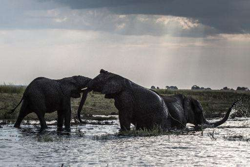 Elephants in the waters of the Chobe river in Botswana Chobe National Park, in the northeast of the country