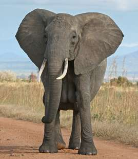 Elephants provide big clue in fight against cancer