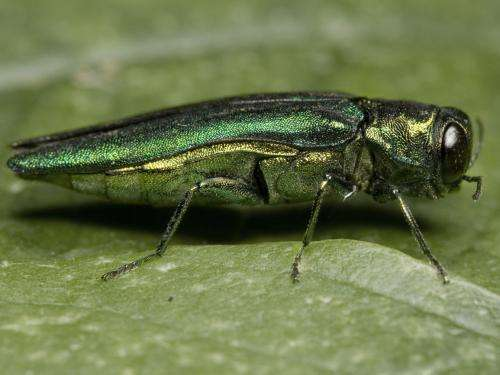 Emerald ash borer confirmed as threat to white fringetree