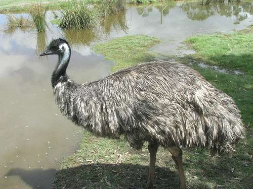 Emu movements chronicled in seed dispersal project