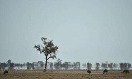 Emus look for food in the dry earth near Walgett, Australia, a drought-hit area that 10 years ago had 1.2 million sheep and 89,0