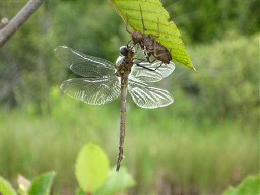 Endangered dragonflies, raised in captivity, being released