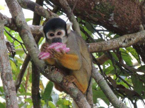 Endangered monkeys in the Amazon are more diverse than previously thought, study finds