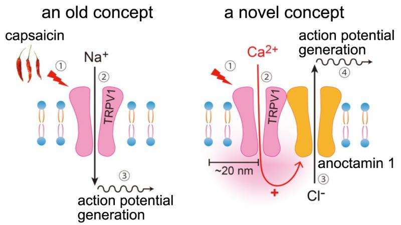 Enhancing mechanism of capsaicin-evoked pain sensation