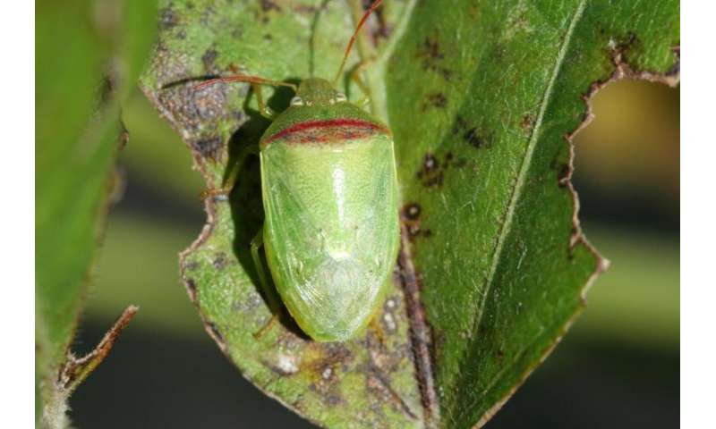 Entomologists sniff out new stink bug to help soybean farmers control damage