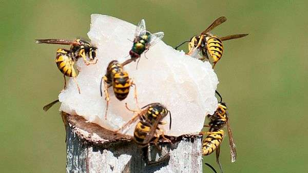 European wasps gather strength in Kalgoorlie