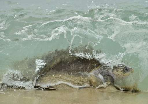 Every year, six of the seven species of sea turtles in the world nest on the coasts of Mexico between July and March