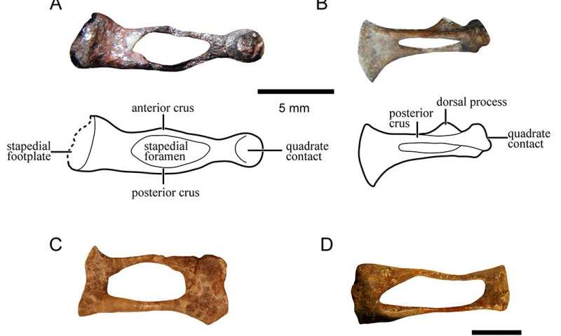 Evolution of our mammalian ancestor's ear bone -- first detailed study