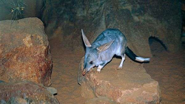 Evolution provides 'leg up' for bandicoots and bilbies