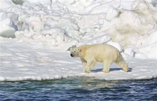 Federal report: Polar bears in peril due to global warming