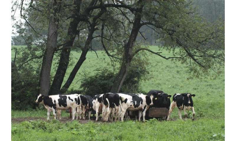 Feed supplement greatly reduces dairy cow methane emissions