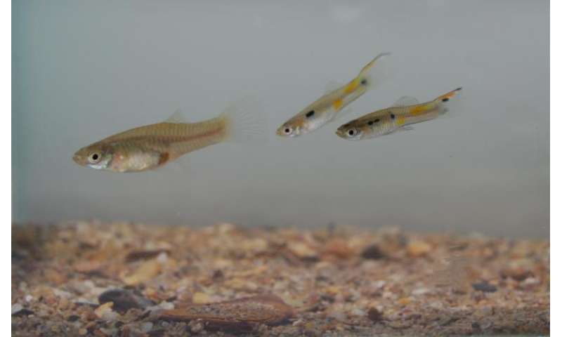 Female guppies become better swimmers to escape male sexual harassment