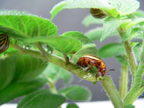 Fighting the Colorado potato beetle with RNA interference