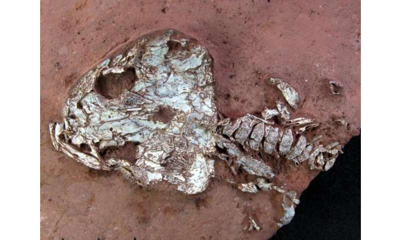 'Fire frogs' and eel-like amphibians: The Field Museum's Brazilian fossil discovery