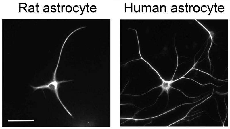 First look at how astrocytes function in humans