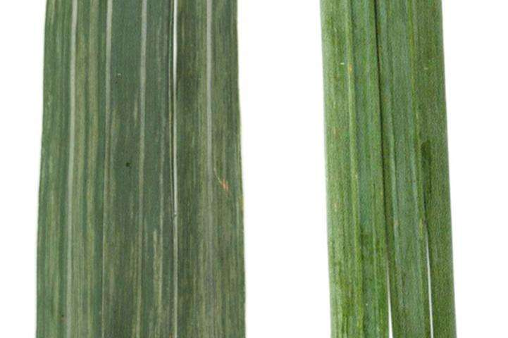 First report of a new crop virus in North America