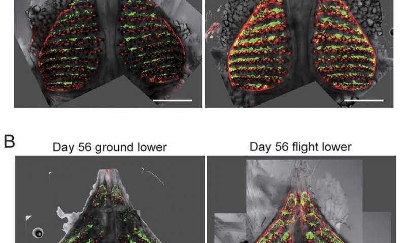 Fish reveal details of bone density loss during space missions