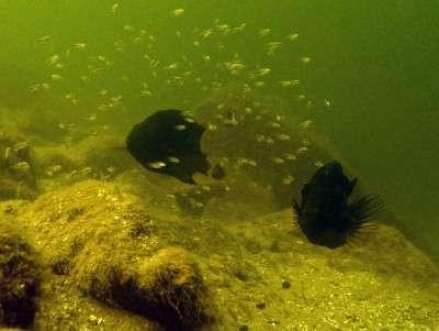 Fishy parents distinguish friend from foe