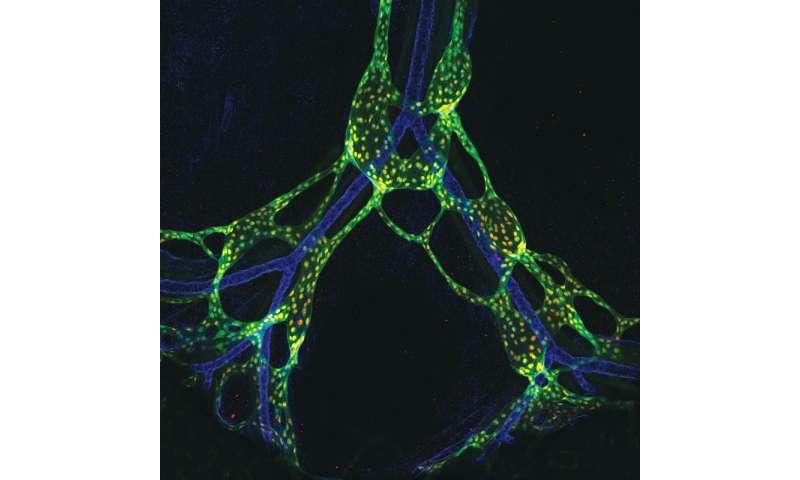 Flow means 'go' for proper lymph system development