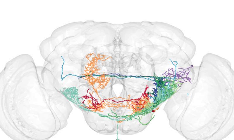 Fly brains reveal the neural pathway by which outside stimuli become behavior
