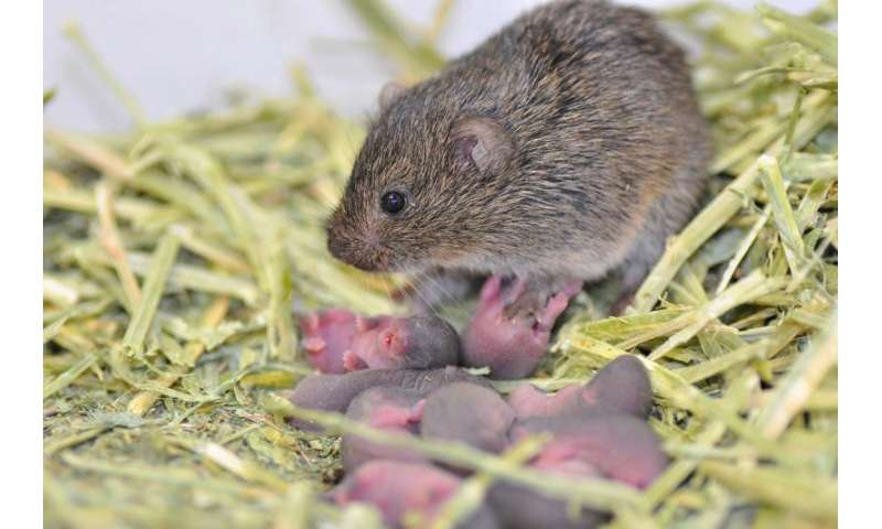 For prairie voles, later socialization can beat childhood neglect