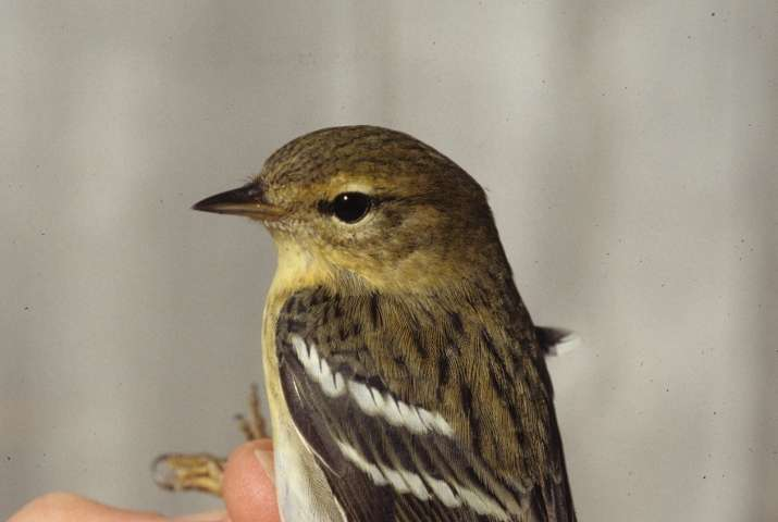 Forty years of data on furthest-migrating warbler reveals new insights