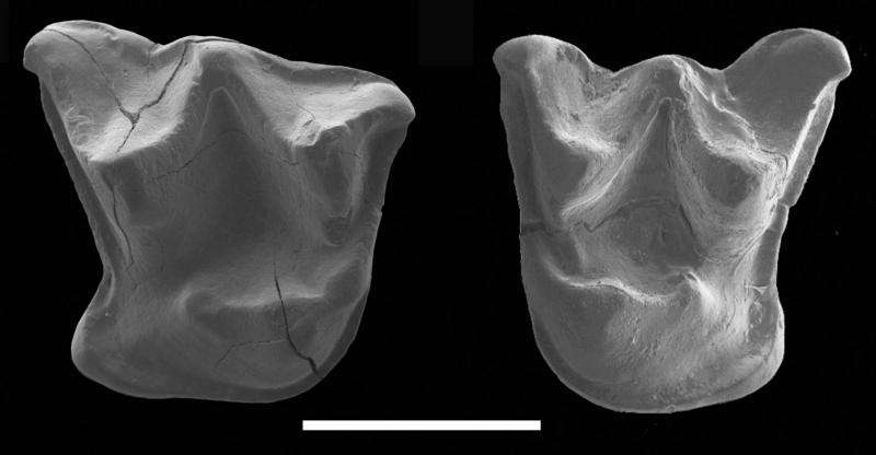 Fossil of large 'walking' bat discovered in New Zealand reveals ancient lineage