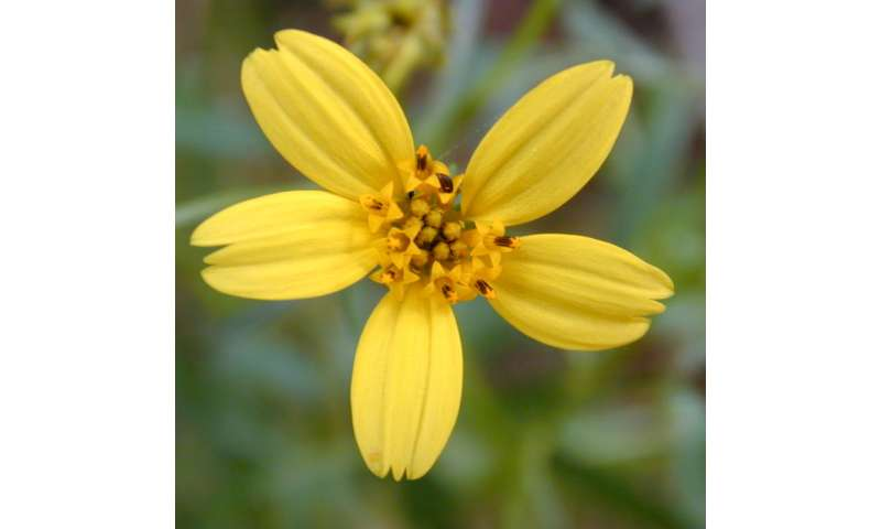Fossil pollen grains found in Antarctica push back evolutionary history of daisy family