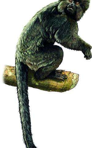 Fossils from heart of Amazon provide evidence that South American monkeys came from Africa