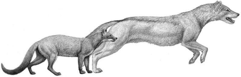 Fossil study: Dogs evolved with climate change