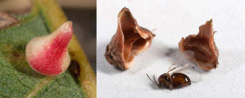 Fossil wasp galls indicate little change in Southern California habitats since Ice Age