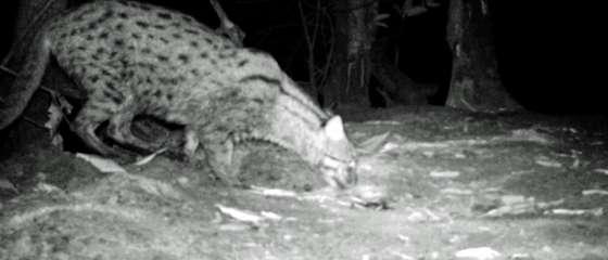 Found! Endangered fishing cat in coastal Cambodia