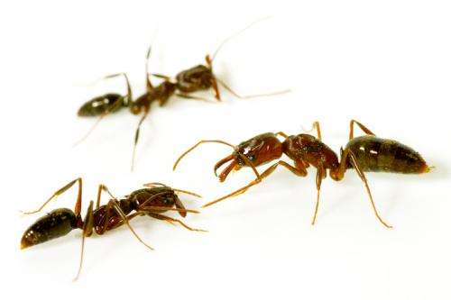 Friend, foe or queen? Study highlights the complexities of ant perception