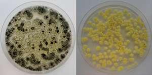 Fungi tweaked to boost industrial enzymes