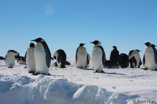 Genetics reveals where emperor penguins survived the last ice age