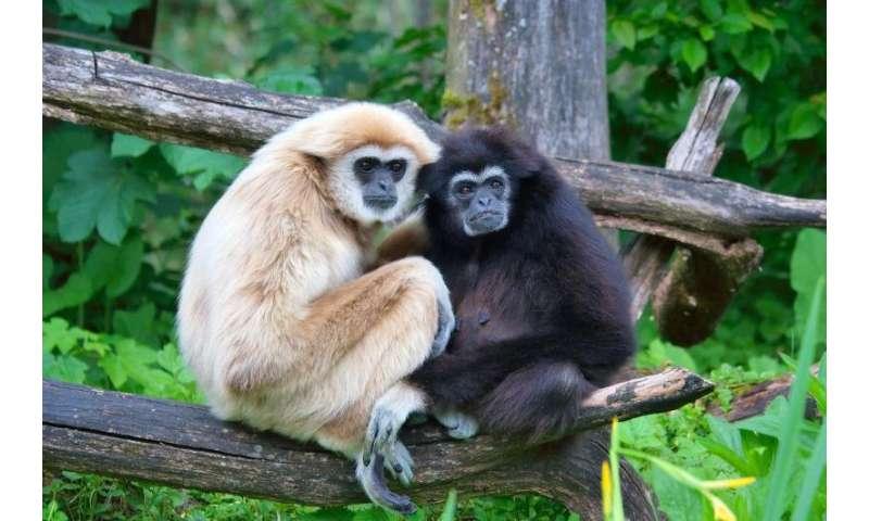 The hoo's hoo of gibbon communication